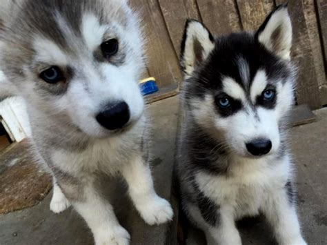 breeders in husky puppies in puppies puppy