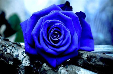 imagenes de rosas moradas y azules rosa azul silvestre im 225 genes y fotos