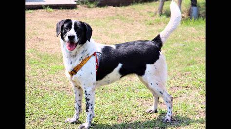 Black White Mix beagle lab mix beagador characteristics appearance and
