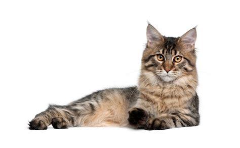 allergia alimentare gatto allergia gatto sintomi allergia gatto sintomi