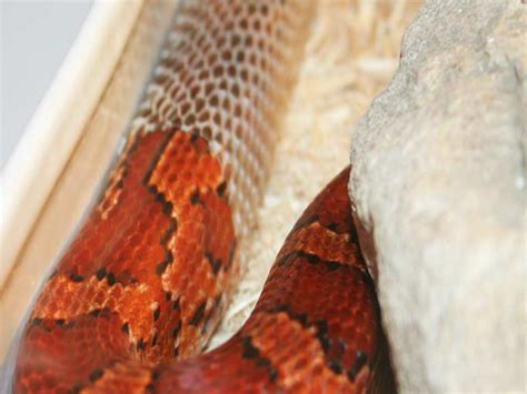 When Do Corn Snakes Shed by Corn Snake Reptile Events