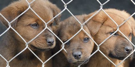 are puppy mills how to recognize puppy mills nothing but dogs