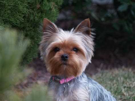 michigan yorkie rescue terrier breed information