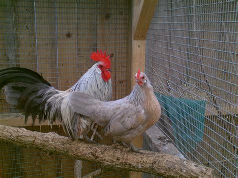 what is bantam bantam for sale chickens breed information omlet