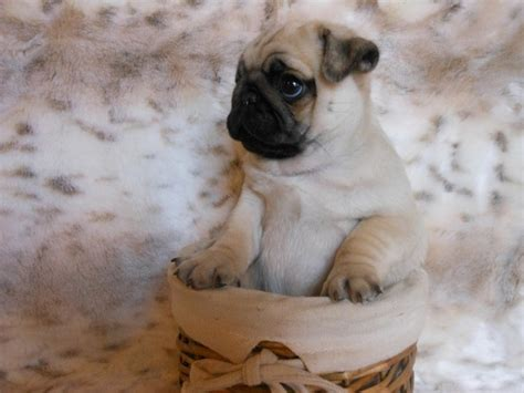 pug screen screensaver pug wallpaper screensaver a collection of animals and pets ideas to try a pug