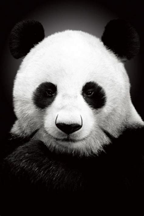 wallpaper iphone panda panda iphone wallpaper hd
