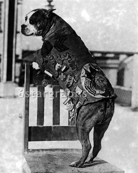 Sgt Stubby Smithsonian The 25 Best Sergeant Stubby Ideas On Pitbull Wiki Who Fought In Ww1 And War Dogs