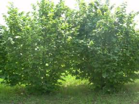 geant de halle cob nut bushes chris bowers