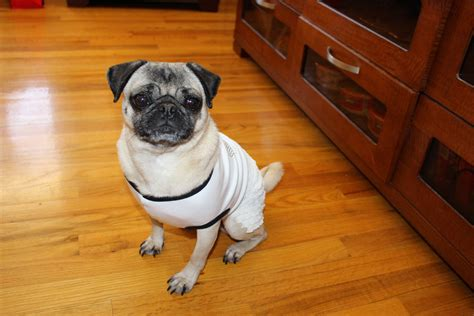 dressed up pug pug all dressed up about pug