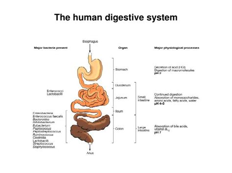 Ppt Phylogenetic Tree Of The Major Lineages Phyla Of Human Digestive System Powerpoint