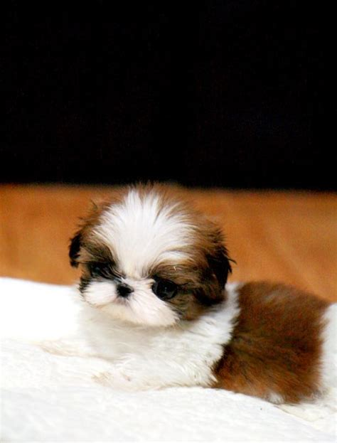 tiny shih tzu breeders mini shih tzu doggies mini morris fluffy puppies and i want