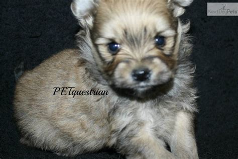 pomapoo puppies for sale near me poma poo pomapoo puppy for sale near grand forks dakota db8225c1 47e1