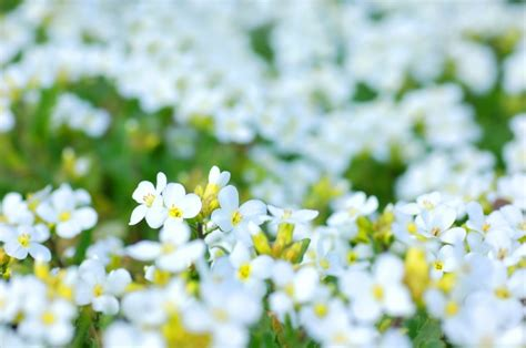 Spring Decoration by White Flowers With Blur Background Photo Free Download