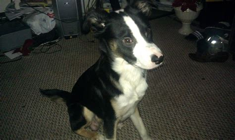 pitbull border collie mix puppies oreo the border collie american pit bull terrier mix allmutt