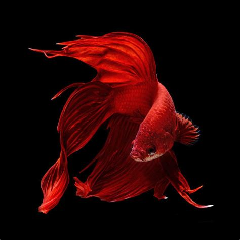 amazing betta fish beautiful