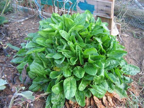 sorrel color seitan spinach and sorrel from scratch vegan