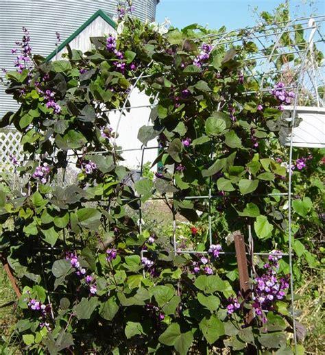 purple hyacinth bean vine gardening pinterest