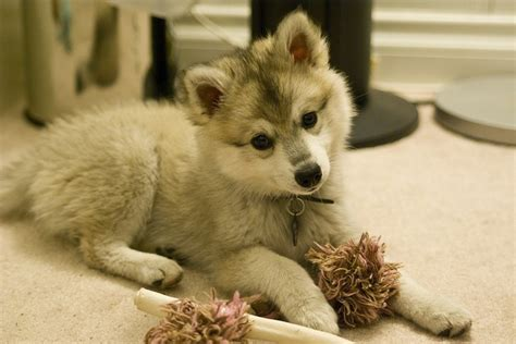 how big do husky pomeranian mix get the 25 best pomeranian husky grown ideas on pomsky pomeranian husky