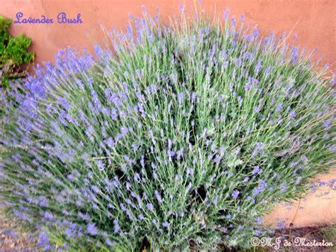 is lavender a perennial gardening lavender a fragrant perennial shrub