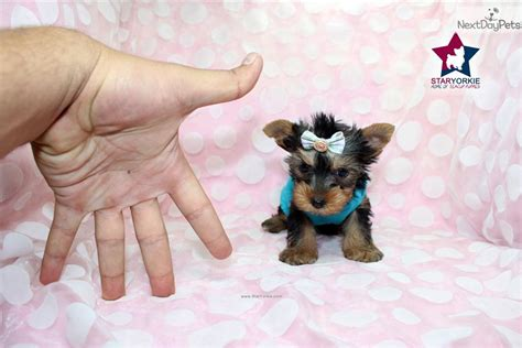 micro teacup yorkie for sale in louisiana meet drew barrymore a terrier yorkie puppy for sale for 2 300 drew