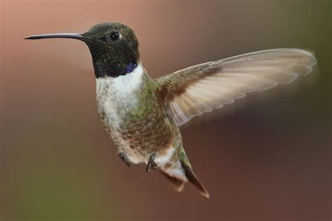 broad tailed and black chinned hummingbirds on the