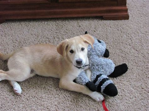 lab and husky mix puppies yellow lab shepherd husky mix www pixshark images galleries with a bite