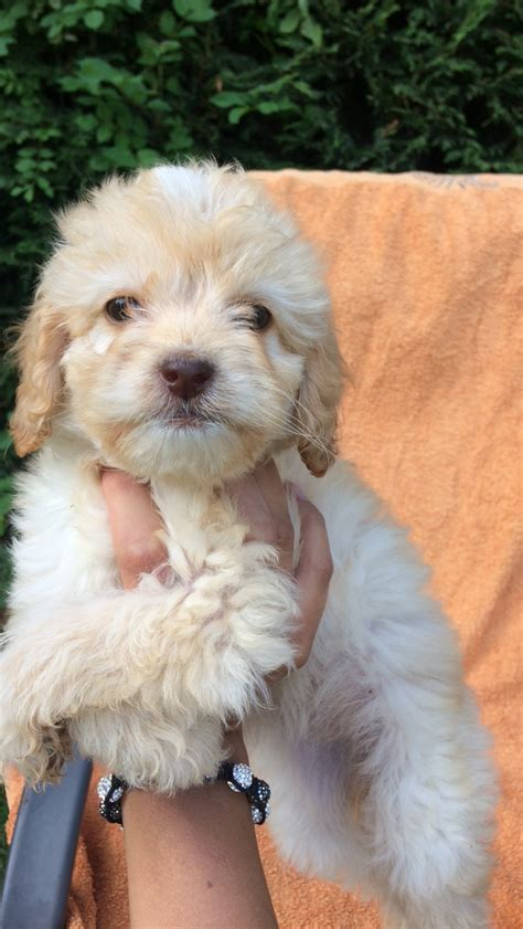 cockapoo puppies for sale 5 cockapoo puppies for sale witham essex pets4homes