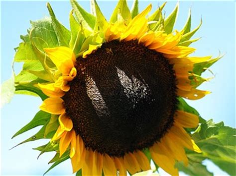 hopi black dye sunflower seeds hopi black dye sunflower baker creek heirloom seeds