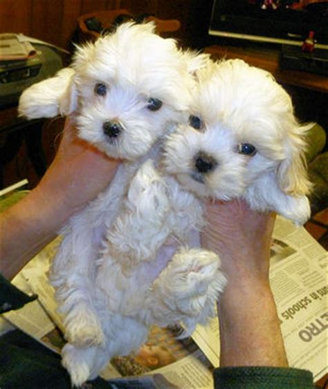 maltese puppies for sale oregon puppies for sale mal shi malti tzu malti tzus malshis shih tese f category