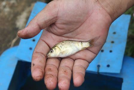 tips gampang umpan mancing ikan benter wader  sungai