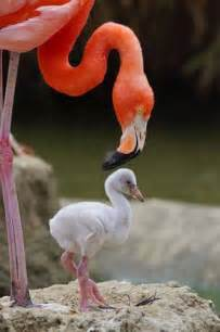 how do flamingos get their pink color flamingo egg yolks are pink snopes