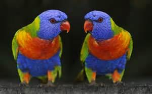 colorful parrots papegaaien achtergronden hd wallpapers
