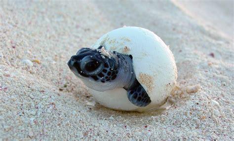imagenes de animales naciendo 191 c 243 mo encuentran las tortugas de mar la playa exacta en la