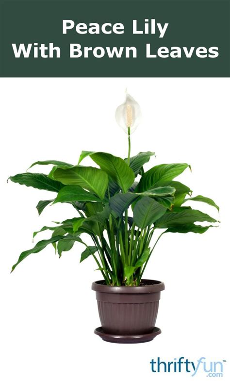 plant health can this peace lily be saved gardening peace lily with brown leaves thriftyfun