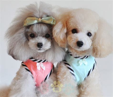 pomaradian french hair cut 2586 best poodle images on pinterest standard poodles