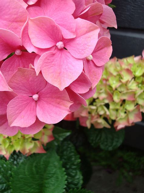 are hydrangeas poisonous to dogs 10 household plants that are poisonous to dogs with pictures what every deserves