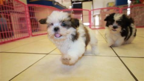 shih tzu puppies for sale in atlanta ga affectionate malti tzu puppies for sale in atlanta ga mix of maltese and shih