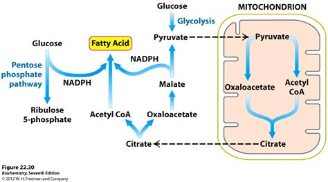 fatty acid synthesis pathway diagram kevin ahern s biochemistry bb 451 551 at oregon state