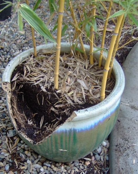 bamboo geek the best containers to grow bamboo in