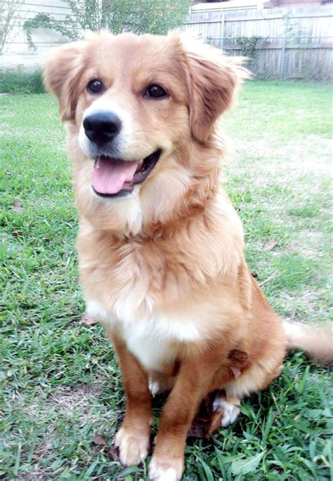 german shepherd mix golden retriever best 25 golden retriever mix ideas on