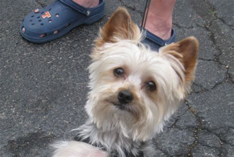 how to crate a yorkie how to introduce your puppy to a crate or kennel puppy behavior help
