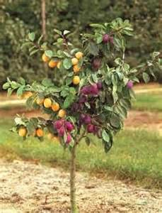 Best Online Fruit Tree Nursery - 30 best images about grafted trees amp flowers on pinterest one tree about rose and desert rose