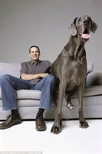 Cane Sofa Set Online Giant George Life With The World S Biggest Dog Written