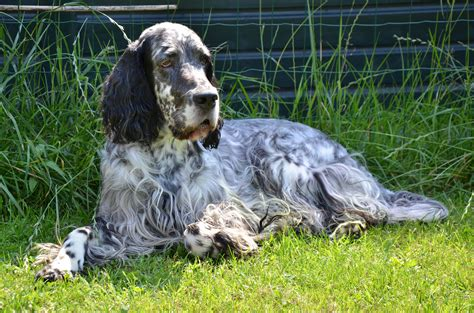 setter s english setter pictures wallpapers9