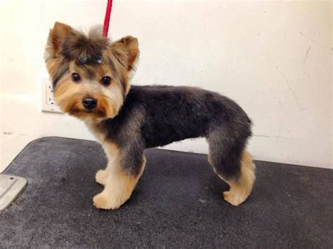 puppy cut with ponytail black morkie haircut morkie dog haircuts morkie dogs