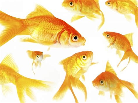 gambar wallpaper animasi cantik koleksi gambar ikan hias cantik