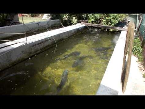 backyard fish farming tilapia backyard fish farming tilapia