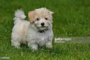 havanese puppies louisiana bichon havanais photos et images de collection getty images