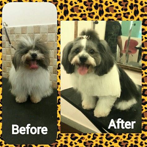 shih tzu puppy cut before and after 17 best images about grooming shih tzu havanes on