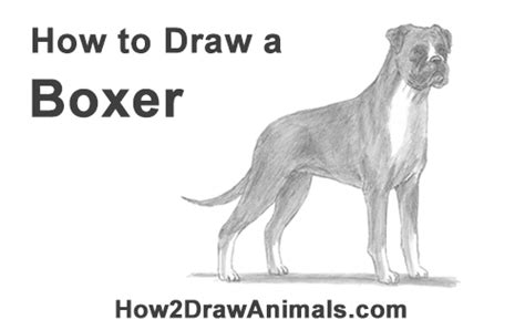 how to your boxer boxer drawing simple